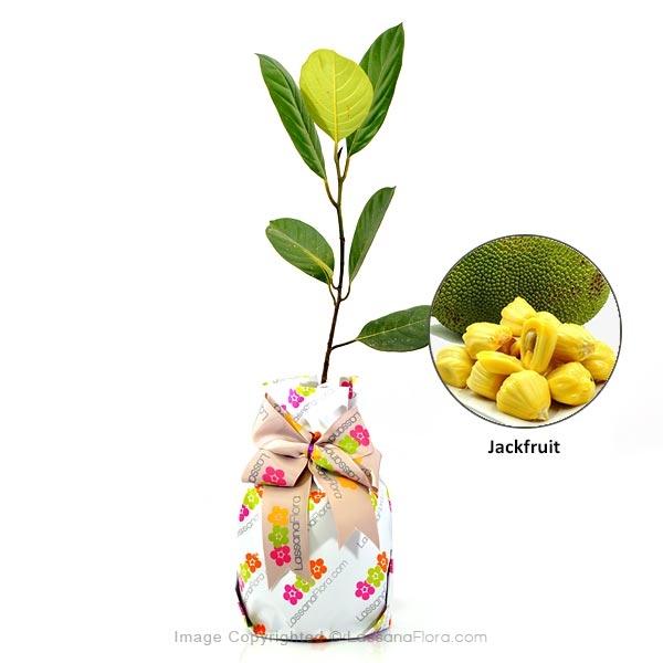 JACKFRUIT PLANT - Fruit Plant - in Sri Lanka